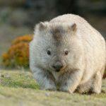 Los increíbles «wombats»: salvan a otros animales del incendio de Australia, alojándolos en sus madrigueras
