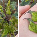 ¿Conocías esta asombrosa planta con flores parecidas a un colibrí? ¡Cultivala en tu jardín!