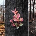 Incendios en Australia: los árboles se niegan a morir y vuelven a florecer