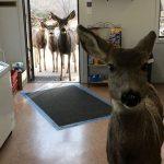 Ternura: ciervo entró a una tienda y volvió con su familia